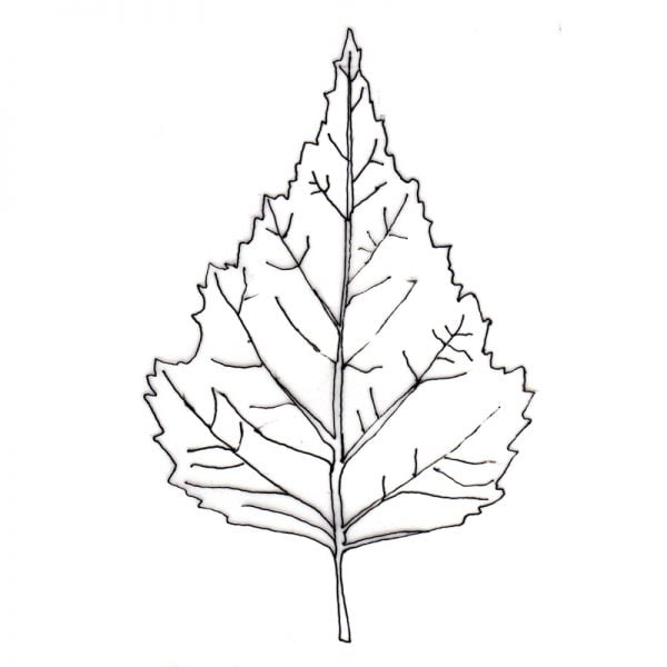silver-birch leaf outline