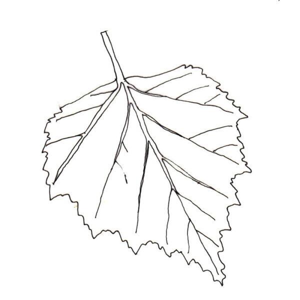 silver-birch leaf outline